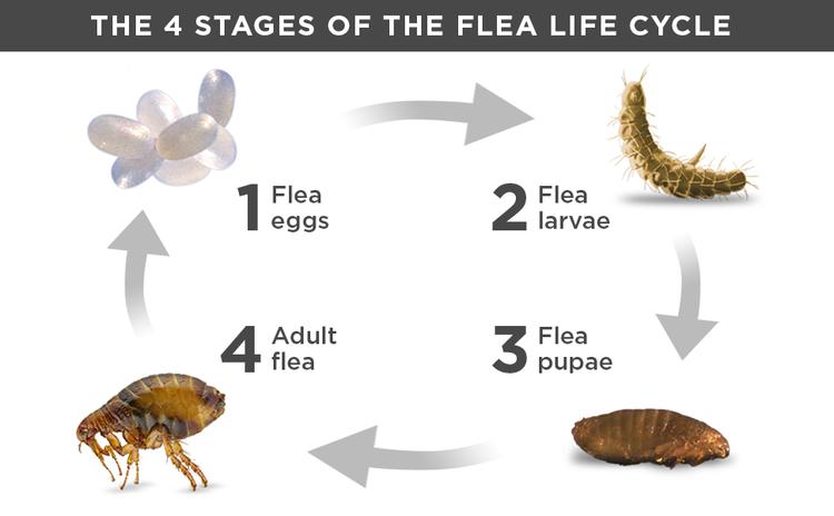 Flea life cycle flea eggs flea larvae adult flea pupae