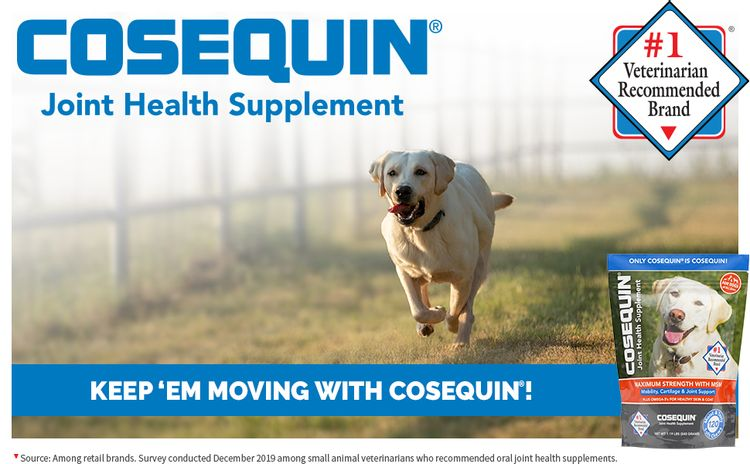 Active male Labrador Retriever running through a field exercising his joints